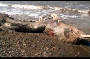 Localizan una misteriosa criatura marina muerta en una isla de Rusia