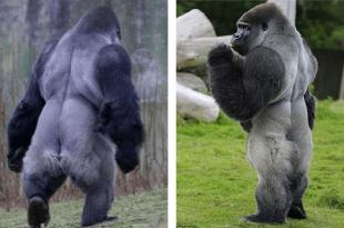 Gorila camina como humano miralo sin gastar dinero
