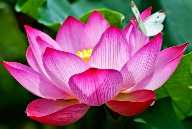 Flor de loto, significado, tipos y colores