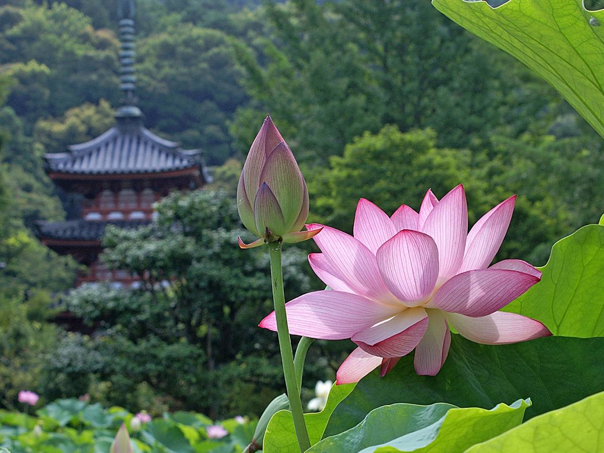 La flor de loto en china