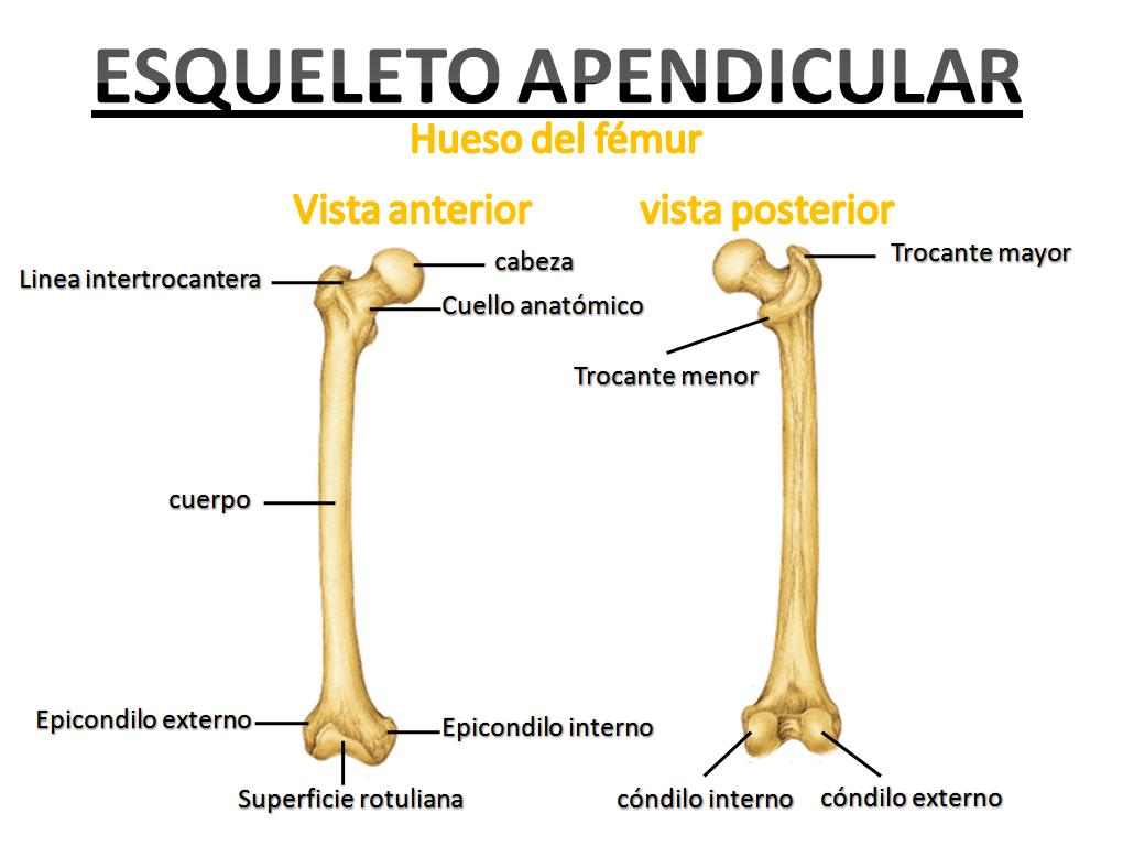 Te has preguntado ¿Cuantos huesos tiene el cuerpo humano?