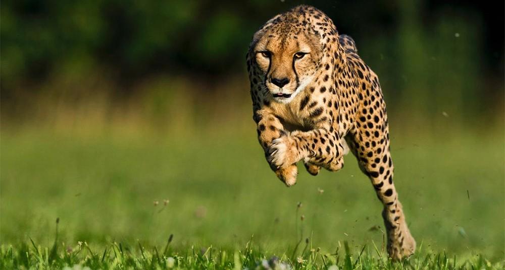 animales más rápidos del mundo