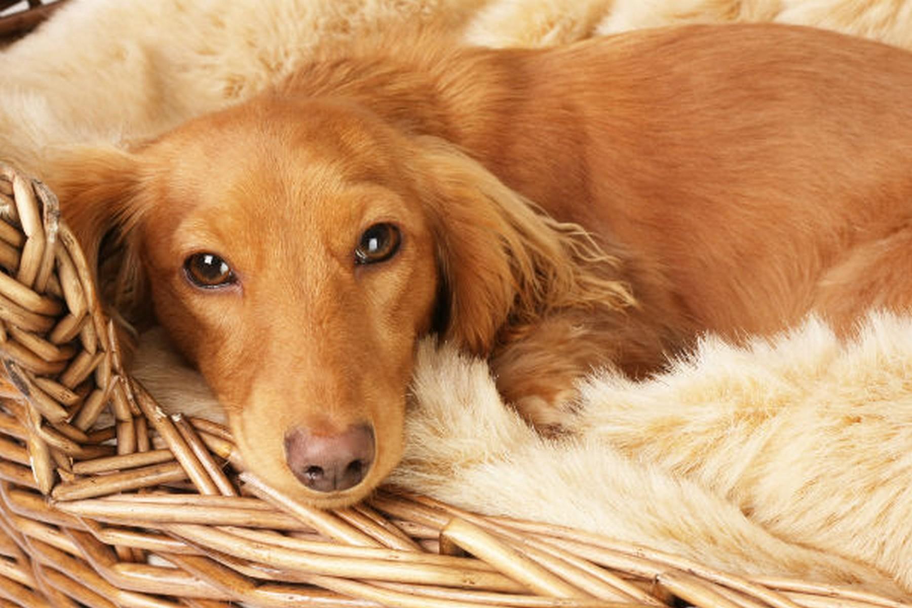 Cuánto Dura el Embarazo de un Perro