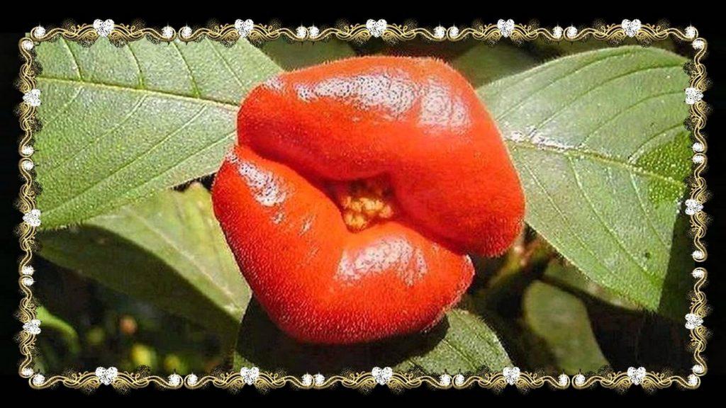 La flor del beso: Psychotria elata