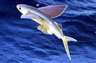 pez volador